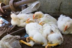 V Žilinskej Lehote potvrdili vírus vtáčej chrípky