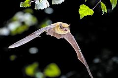 Krvilačné tvory? Piatková noc vyvráti mýty o netopieroch