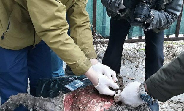 V Malej Fatre našli zastreleného rysa
