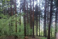 V časti Les Chlmce  ťažia stromy napadnuté kôrovcom
