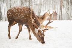 Lesnú zver treba cez zimu prikrmovať, inak by neprežila