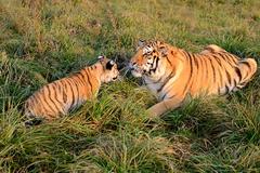 Najlepší kamaráti sibírskeho tigra sú psi