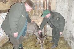 V Štiavniku zachraňujú gravidnú jelenicu