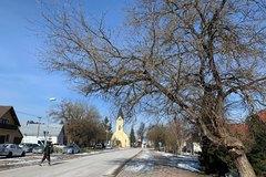 Bánovčanov zaskočili označené stromy. Vyrúbu historické moruše?