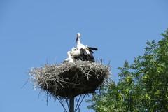 Bocian biely rád hniezdi v blízkosti ľudí