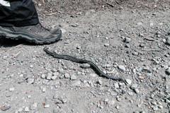Horúčavy vylákali na cesty a chodníky zmije