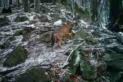 VMalej Fatre budú sčítavať vlky arysy