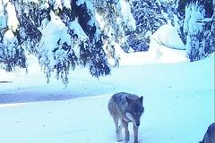 Malá Fatra hlási nízku populáciu vlka dravého, mačku divú sa opäť nepodarilo spozorovať
