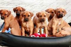Narodilo sa desať výstavných psíkov