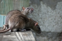 Potkanov v Žiline je priveľa. Pomôže deratizácia?